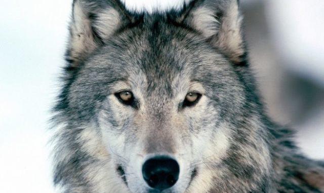 Mi a farkas látványa)